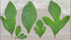 Health benefits of sassafras