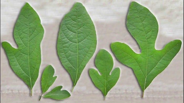 Health benefits of sassafras