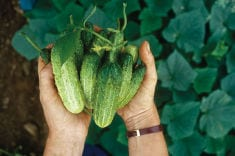 Growing Cucumbers of All Shapes and Sizes