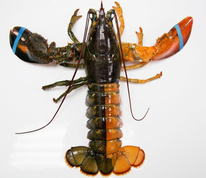 Health benefits of lobster
