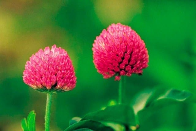 Red clover healthy benefit