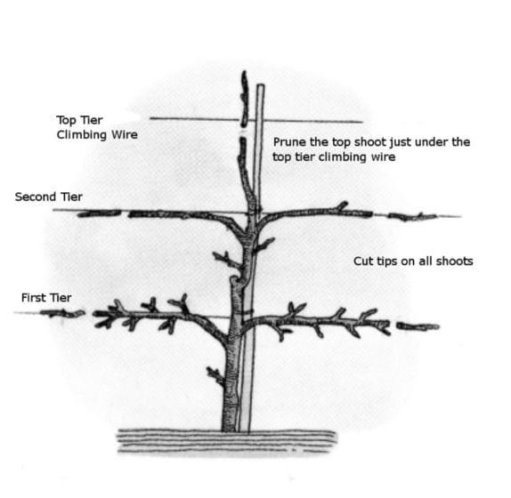 574px-Tree-Espalier003-1