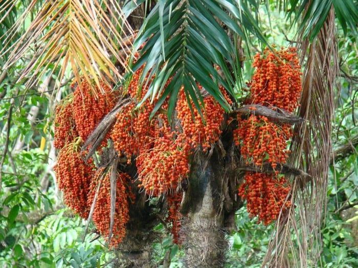 Peach palm amazing health benefits