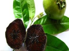 Diospyros digyna—Growing Black Sapote