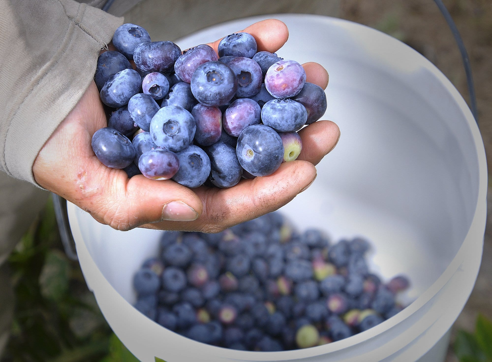Healthy properties of Blueberries