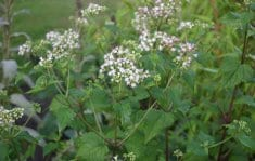 Snakeroot relieves stress, anxiety and eases menstruation
