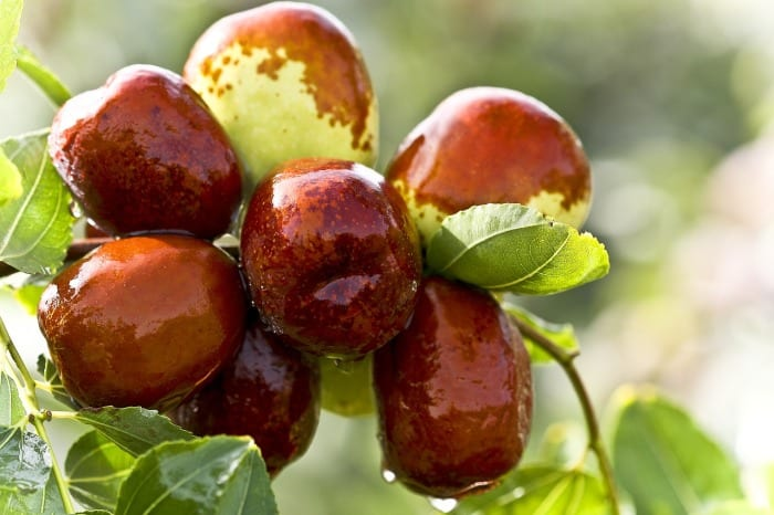 Jujube health benefits