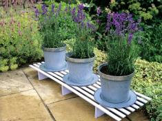 Grow Lavender in Containers | Growing, and care