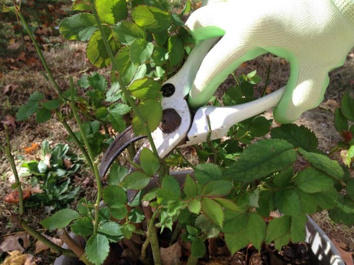 Basic tips for Pruning your plants