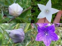 Health benefits of balloon flower
