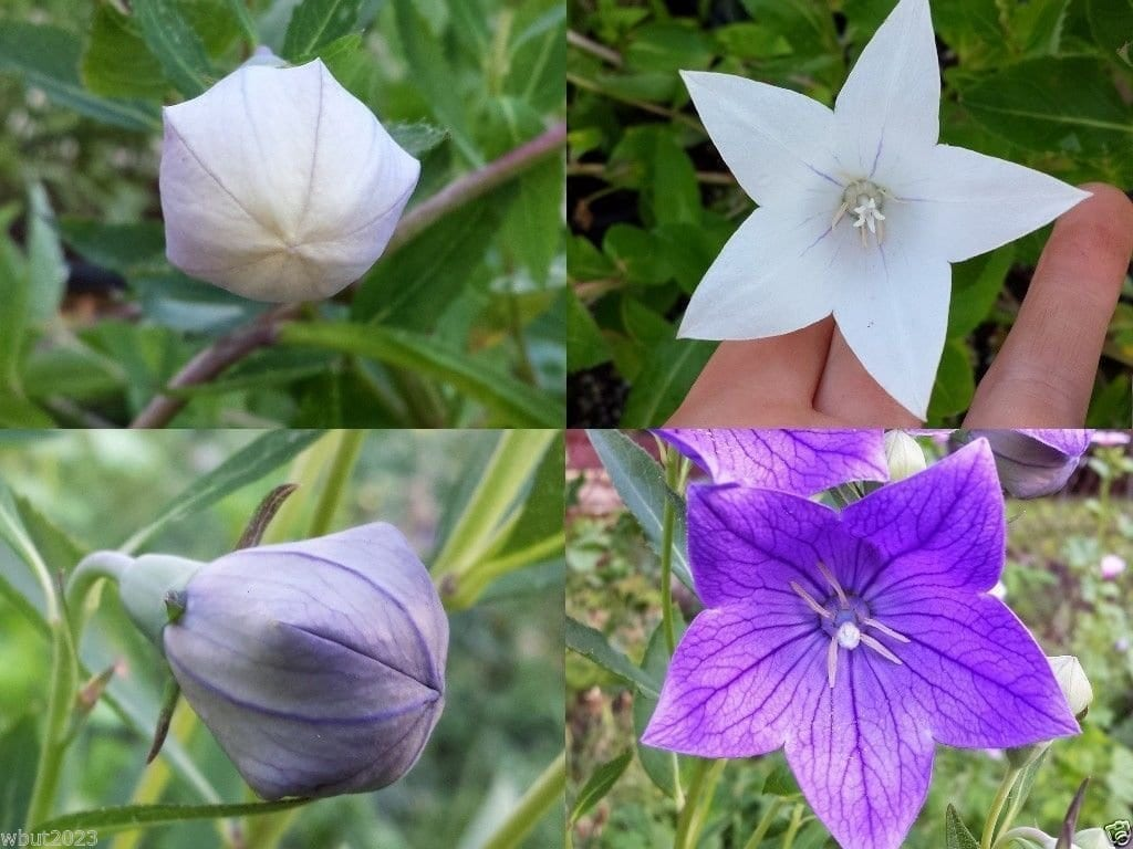 Useful properties of balloon flower