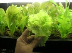 How to Grow Lettuce | Gardening tips and care