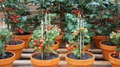 Growing Heirloom Tomatoes easy steps by
