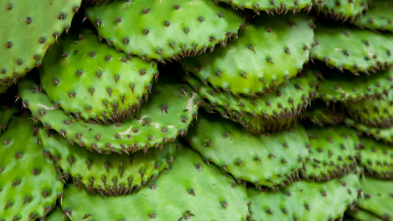Benefits Of Eating Cactus Nopales