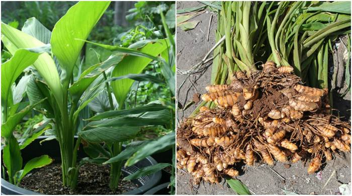 Grow your own Turmeric in container