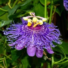 Growing Passion Flower Indoors